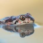 Knoblauchkröte