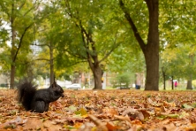 Schwarze Eichhörnchen ...