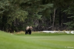 Grizzly auf Golfplatz