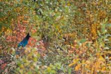 Diademhäher im Herbstlaub