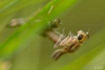 Libelle schält sich aus Exuvie