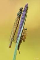 Schlüpfende und fertige Libelle