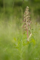 Bocksriemenzunge im hohen Gras