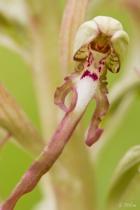 Grimmig schaut das Blütenmännlein drein