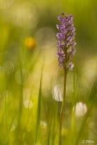 Zarte Orchidee
