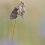 Kleines Wiesenvögelchen 4