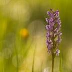 Mückenhändelwurz Orchidee 2