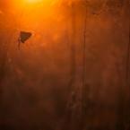 Feuerfalter im Abendlicht
