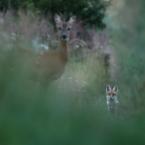 Reh und Fuchs