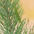 Sichelschrecke