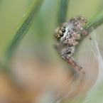 Dendryphantes hastatus